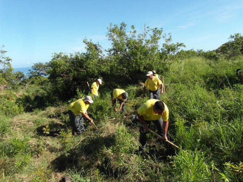 Les emplois verts de l'association Cilaos Initiatives ont reboiser une parcelle sur la zone du projet LIFE+ COREXERUN à la Grande Chaloupe