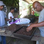 Réalisation de semis de Bois blanc rouge (Poupartia borbonica)