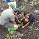 Les arbres cultivés par les enfants sont plantés à la Grande Chaloupe