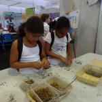 Décorticage des graines de Bois de sable, Benjoin, Bois de Judas et Bois d'Arnette