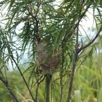 Retour sur les plantations réalisées par les Lions en 2012 : un nid de cardinal est installé dans un Bois de senteur blanc