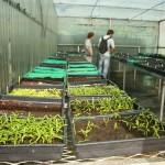Suivi des germinations - Au premier plan : Bois de judas (Cossinia pinnata)
